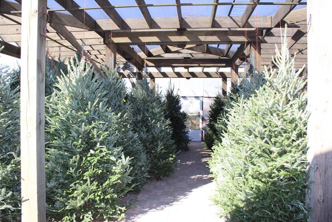 Fresh Cut Christmas Trees!