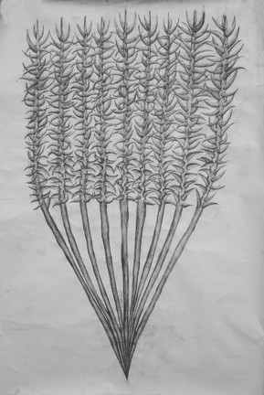 Thorn Drawing 2.jpg