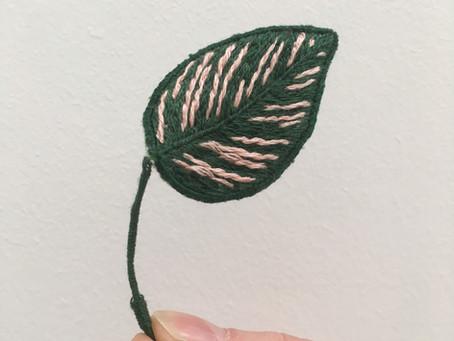 Calathea Ornata Sanderiana