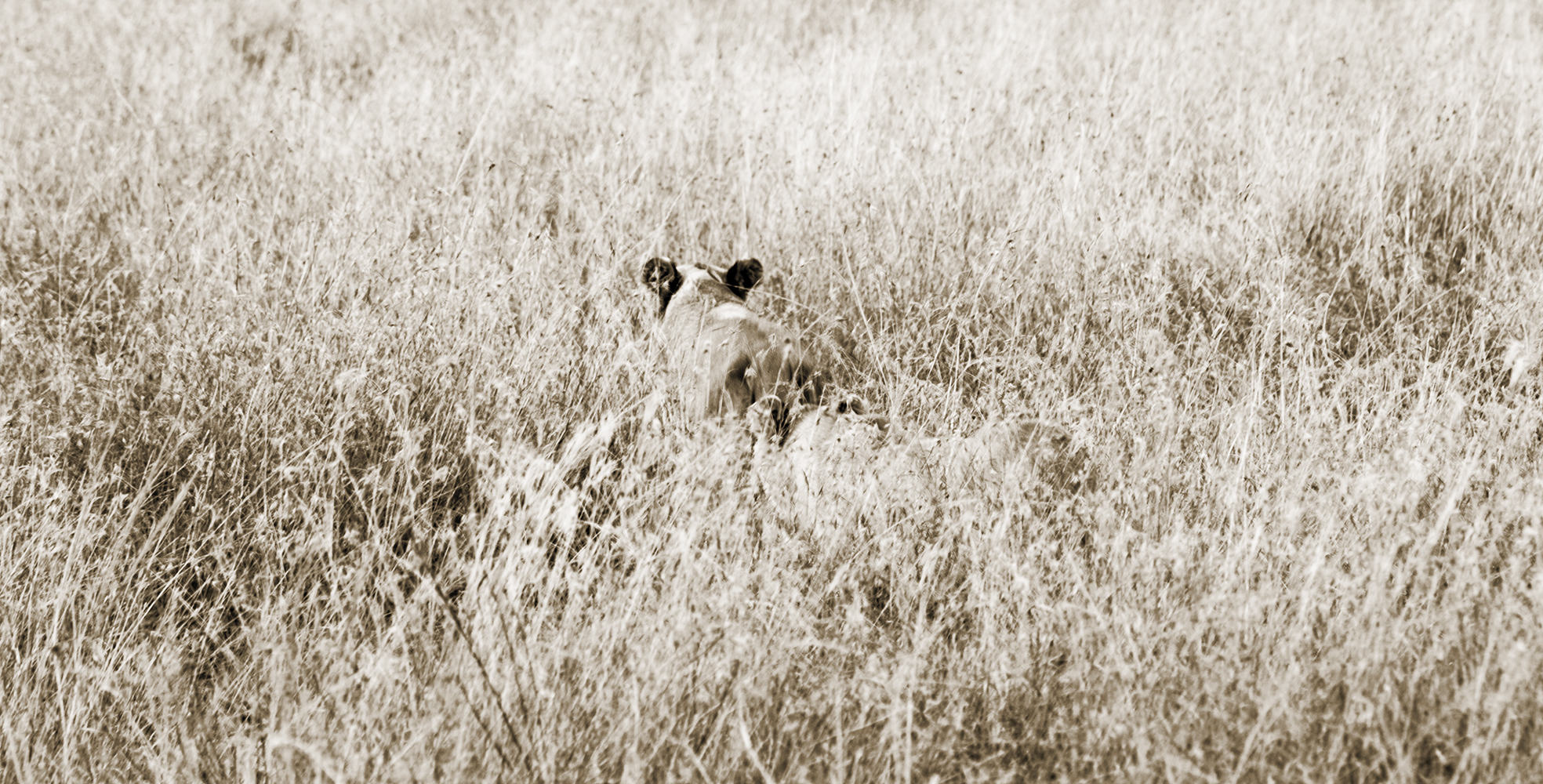 Lions17BWSmall.jpg