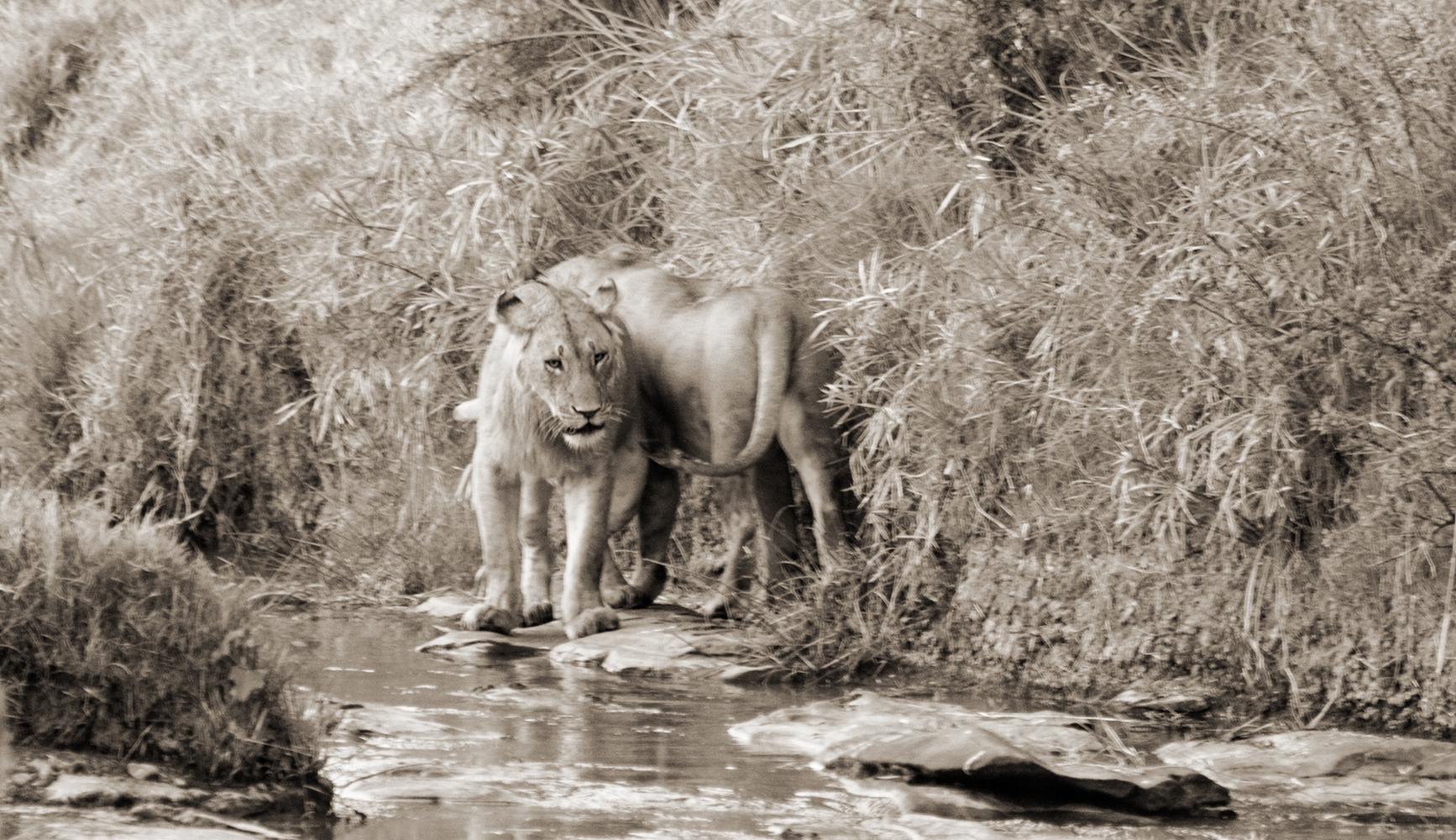 Lions4BWSmall.jpg