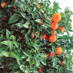 Oranges everywhere