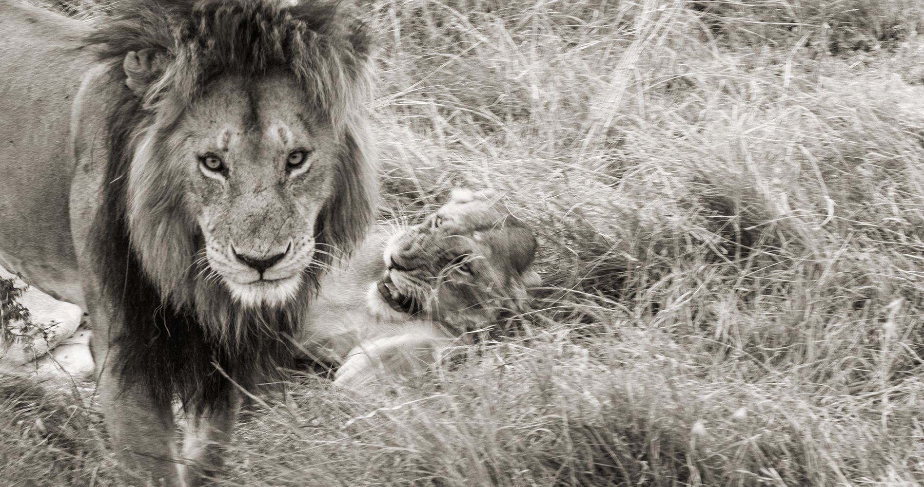 Lions19BWSmall.jpg