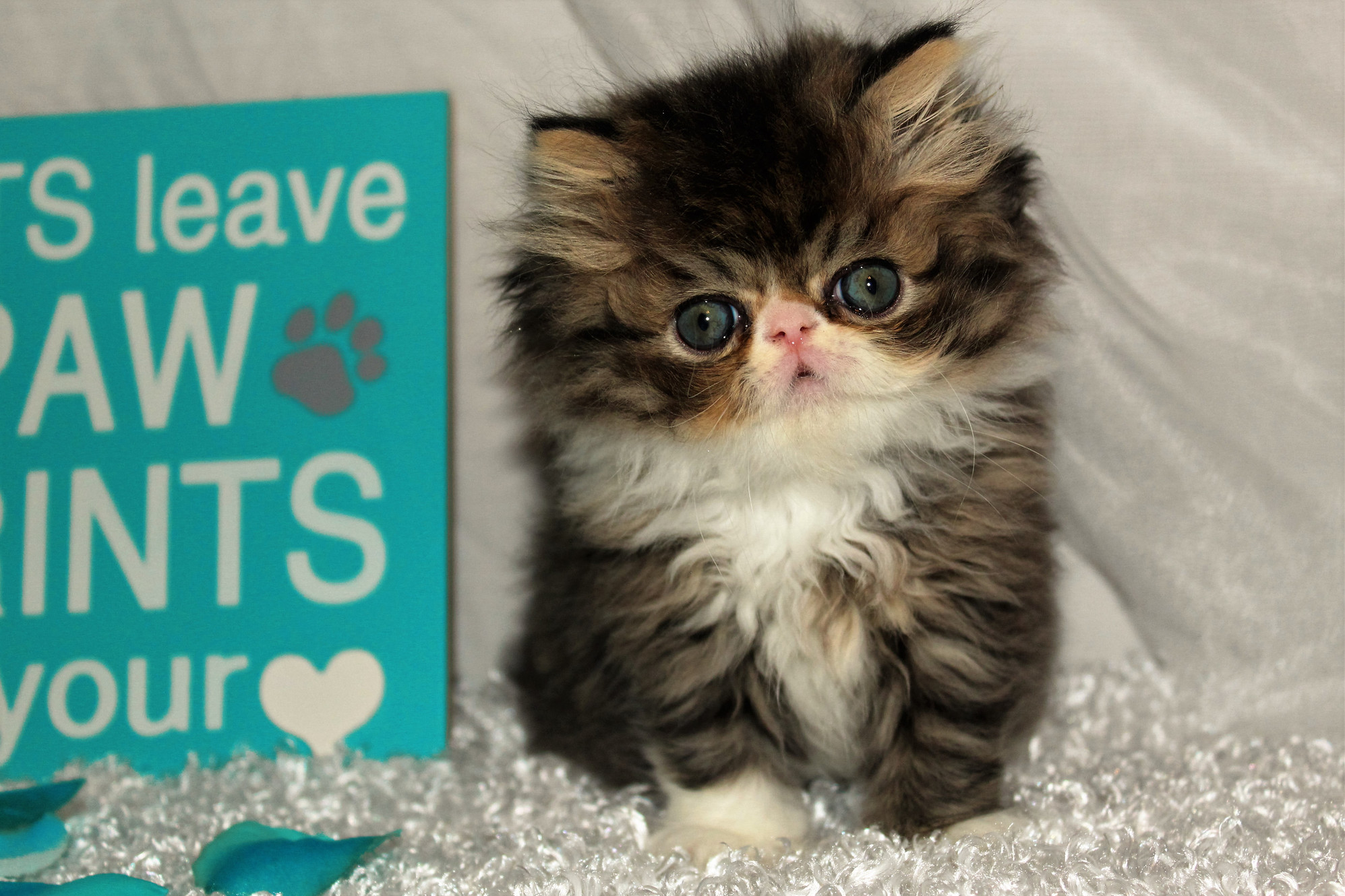 Kitty Cature Cattery   Beautiful Persian Kittens For Sale in
