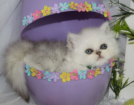 Persian Kittens for sale in Texas