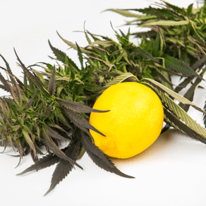 What Are Cannabis Terpenes?