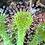 Thumbnail: Spoon-Leaf Sundew