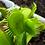 Thumbnail: Mirror Venus Flytrap