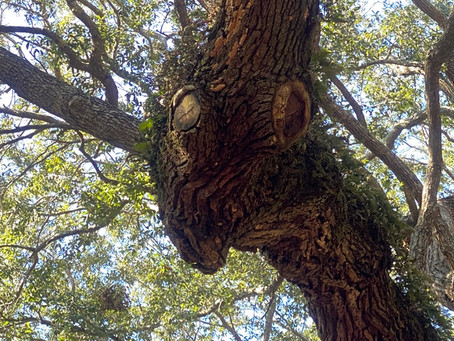 400 Year Old Angel Tree