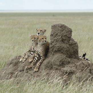 Cheetahs on watch
