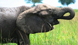 Elephant drinking at Manyara