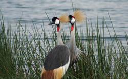 Ugandian Cranes