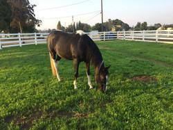 Horse Boarding Brentwood 5.JPG