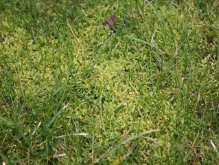 How to treat moss in turf
