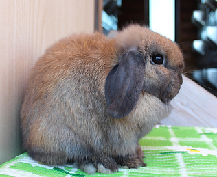 Кролик  minilop