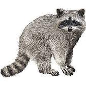 raccoon.jfif