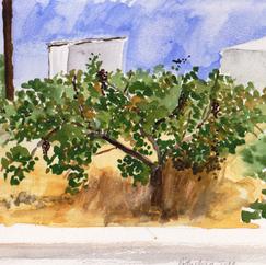 Aegina (Pistachio tree)