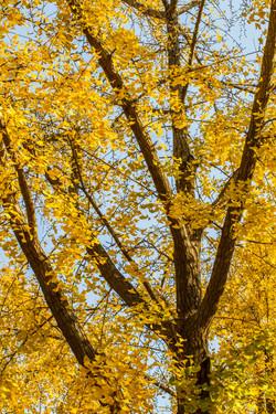 Pekin Tree. Pekin, China 2014
