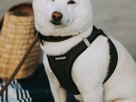 ニューヨークからやってきた白い柴犬。