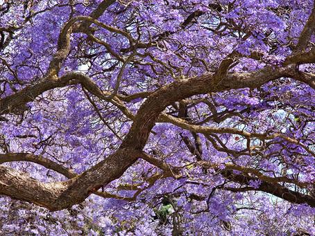 ロサンゼルスの5〜6月に咲き乱れるジャカランダ。