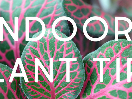 Caring for your indoor plants.