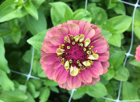 Where to Purchase Cut Flower Seeds and How to Determine What to Grow?