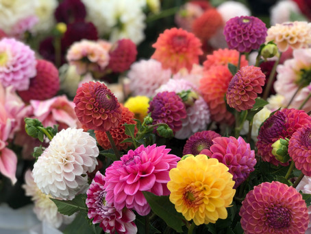A Quick Guide to Growing Dahlias