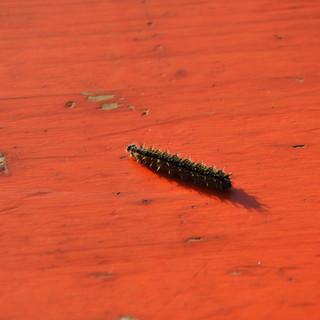 Zeltlager - kleine Raupe