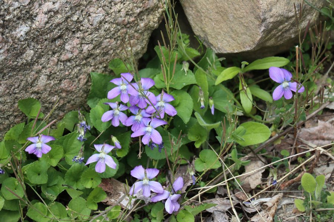 Violets: The First Edibles of Spring