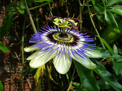 passion-flower-1-1557109.png