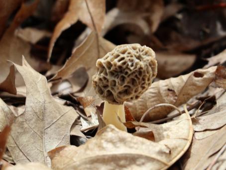 Hunting and Drying Morel Mushrooms