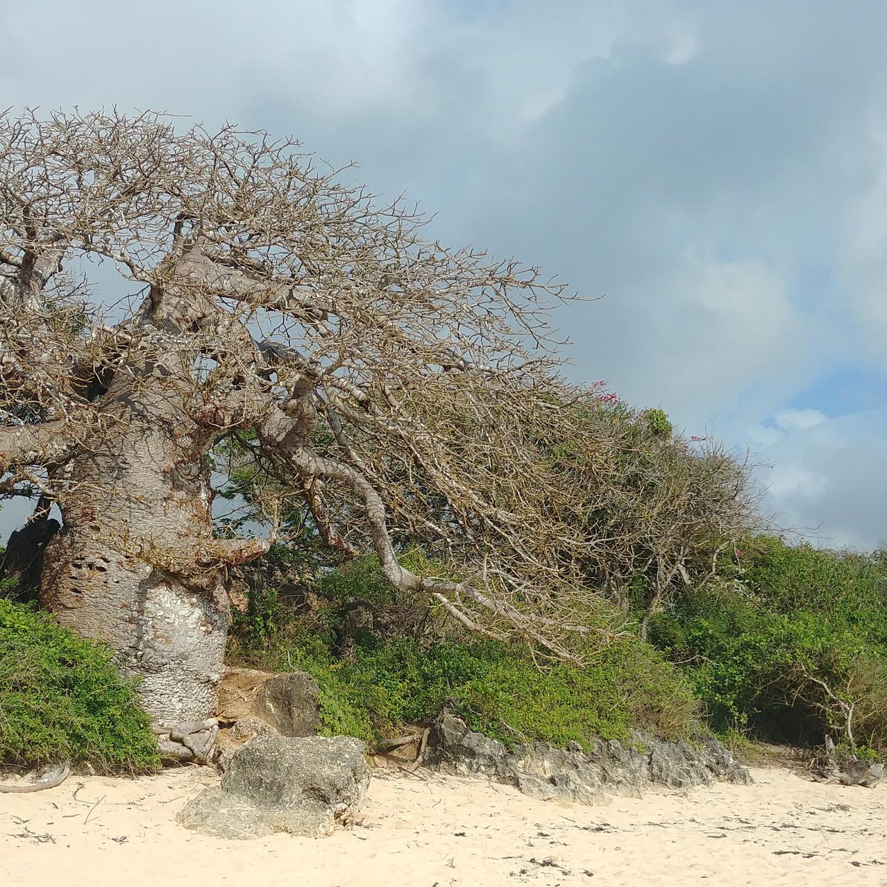 Baobab sur la plage