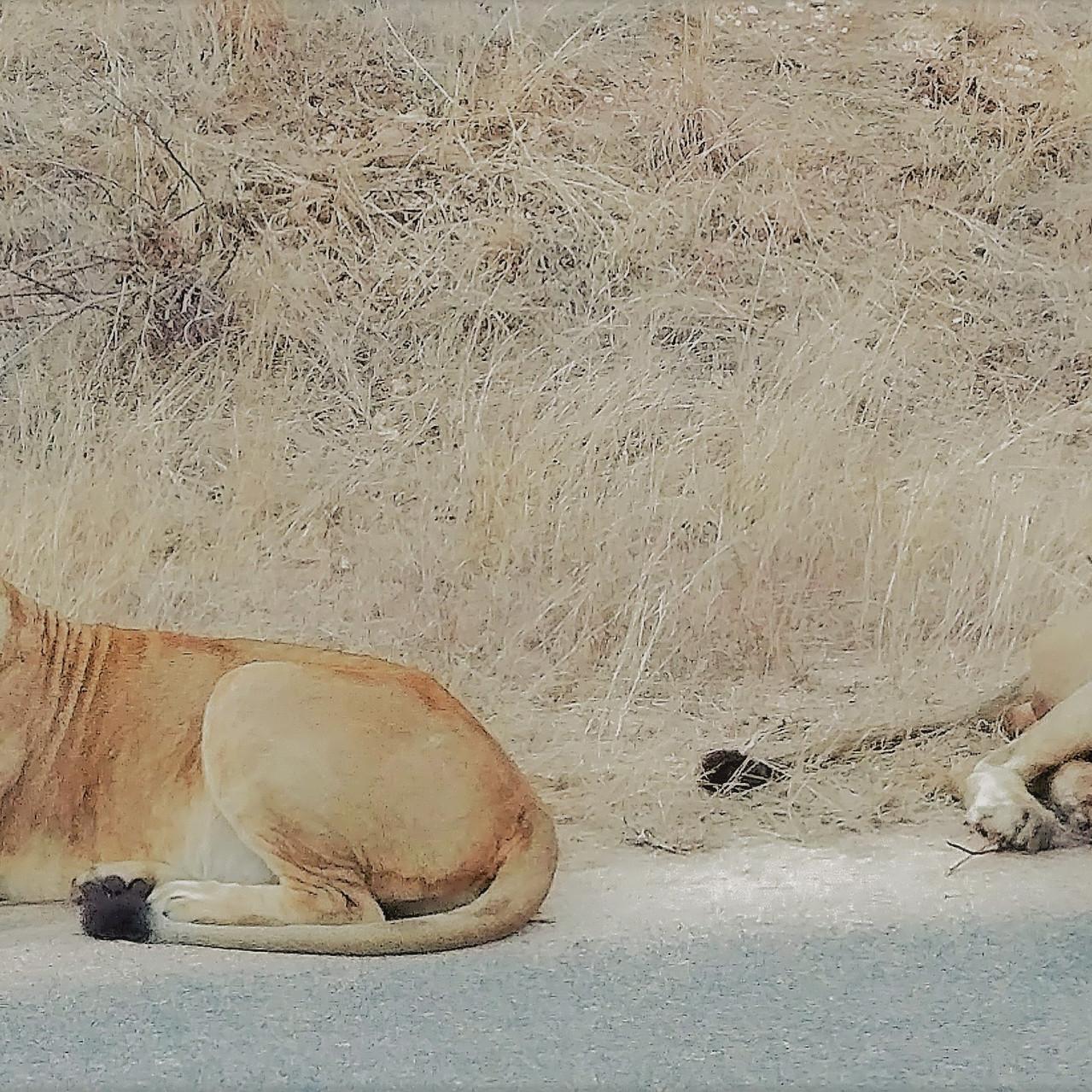 Lions - Kruger