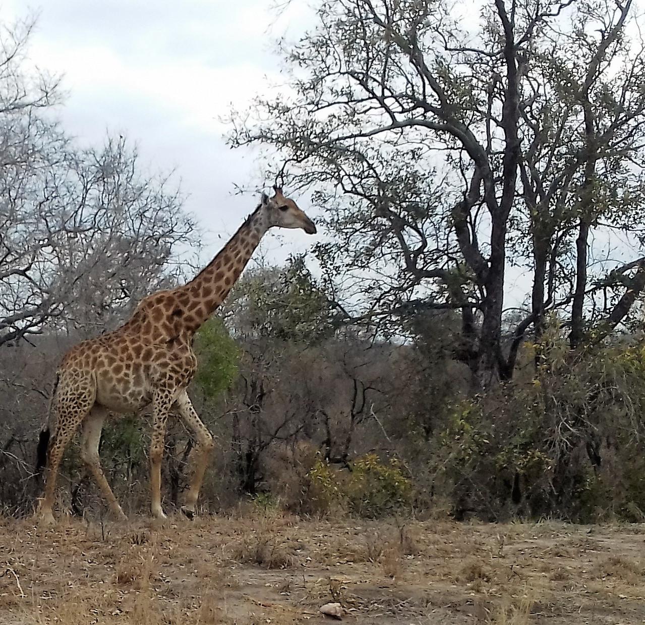 Girafe - Kruger