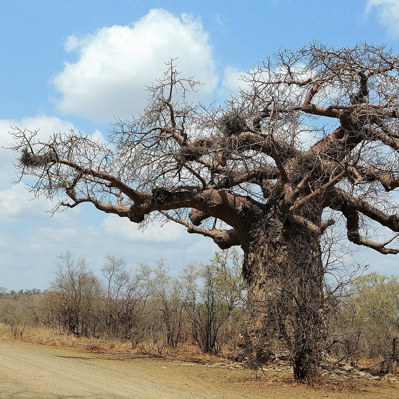 Baobab - Kruger