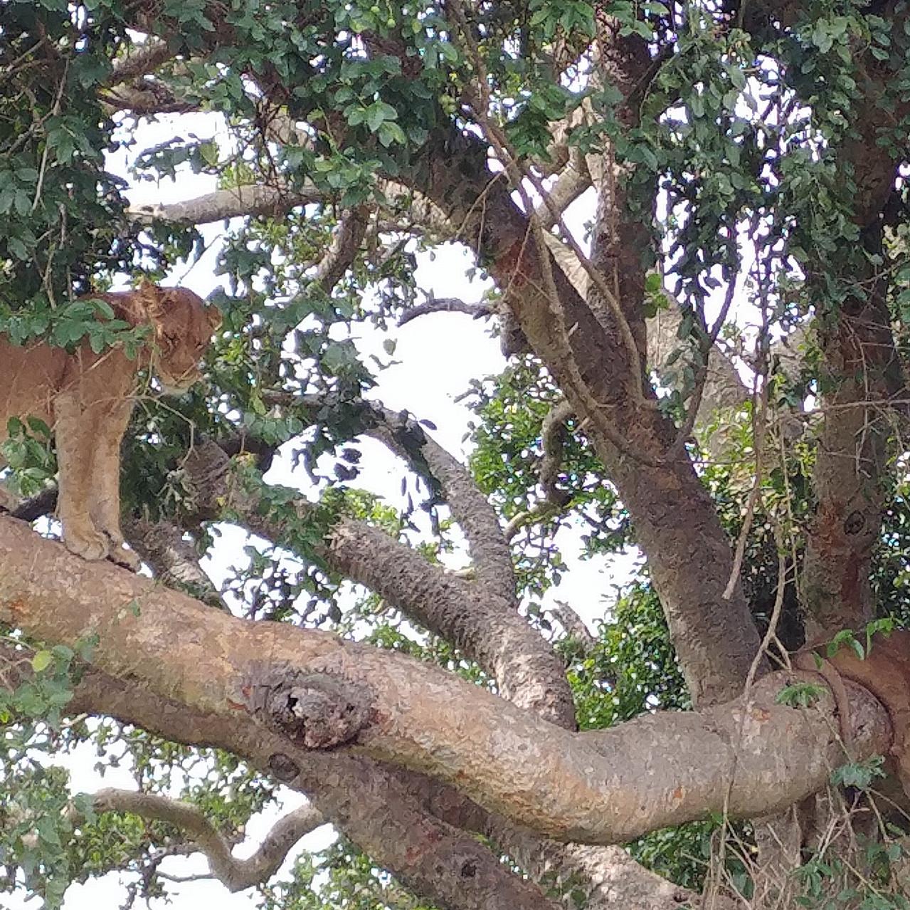 Lionnes dans le arbres