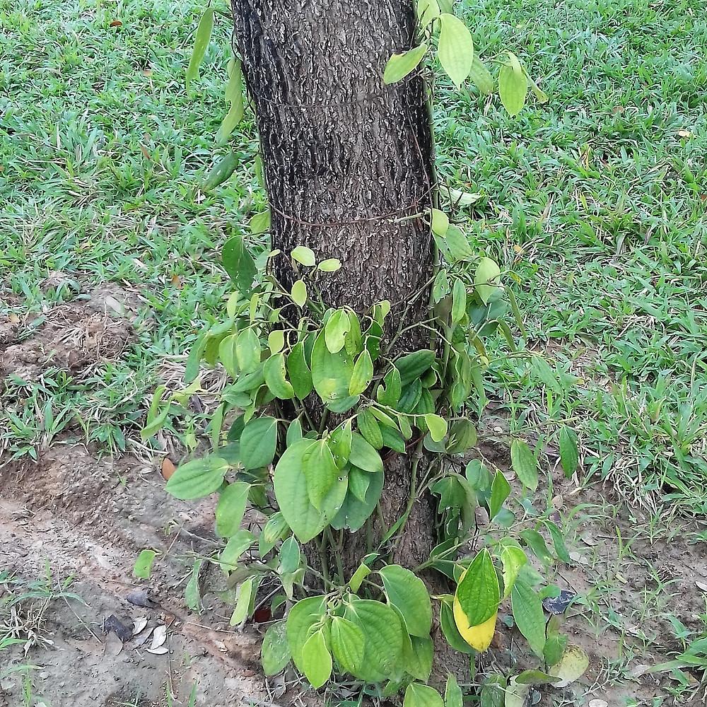 Jeune plant de poivre autour d'un tronc