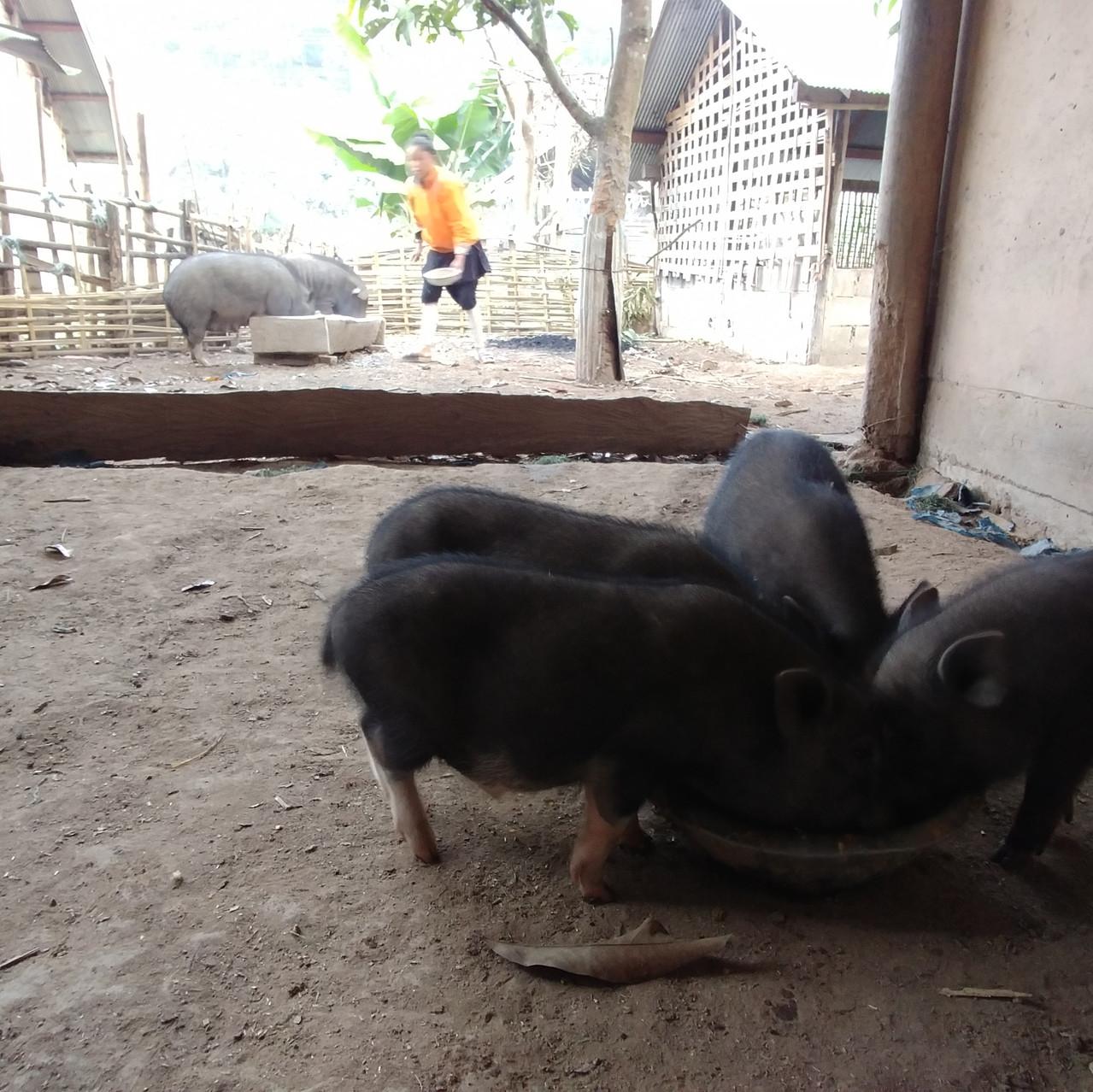 Cochons dans la maison