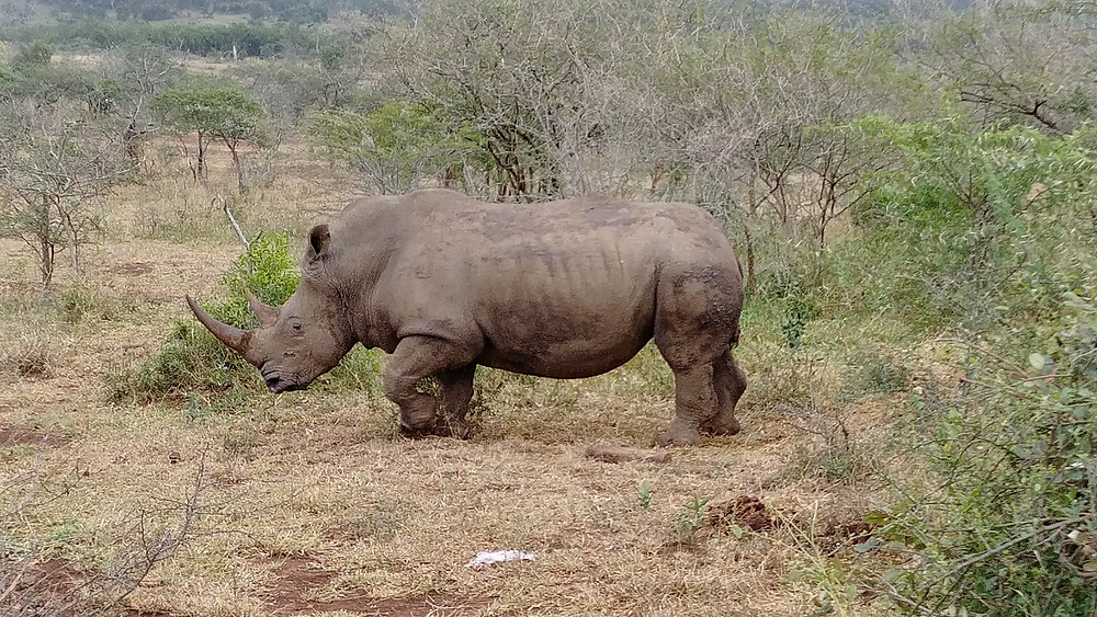 Rhinocéros - Kruger