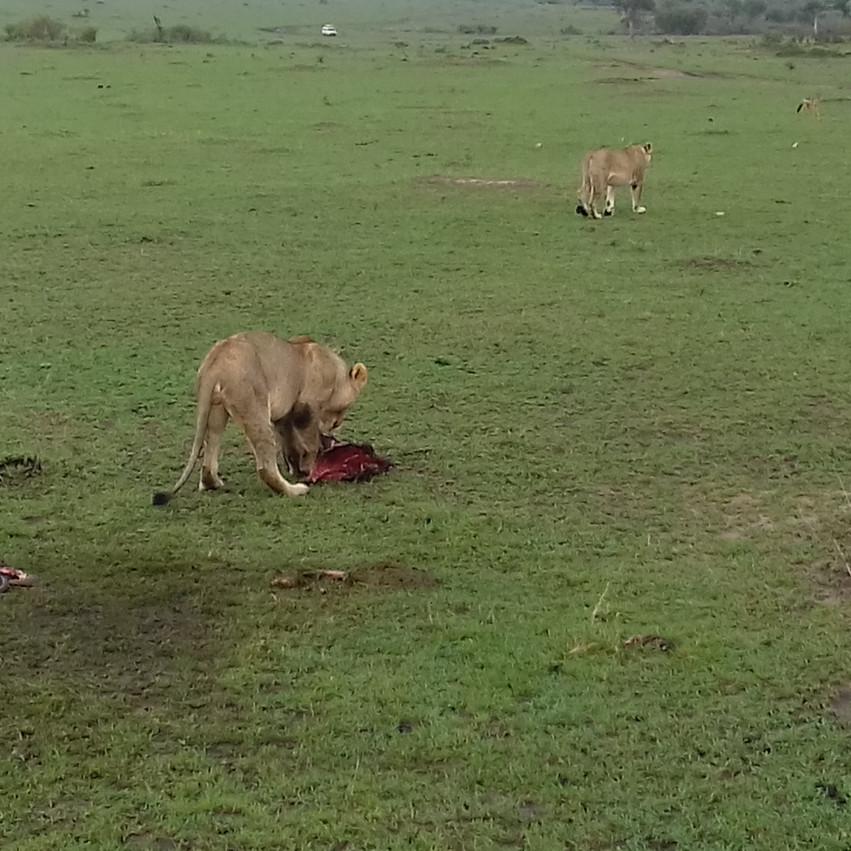 Les lions abandonnent leur carcasse