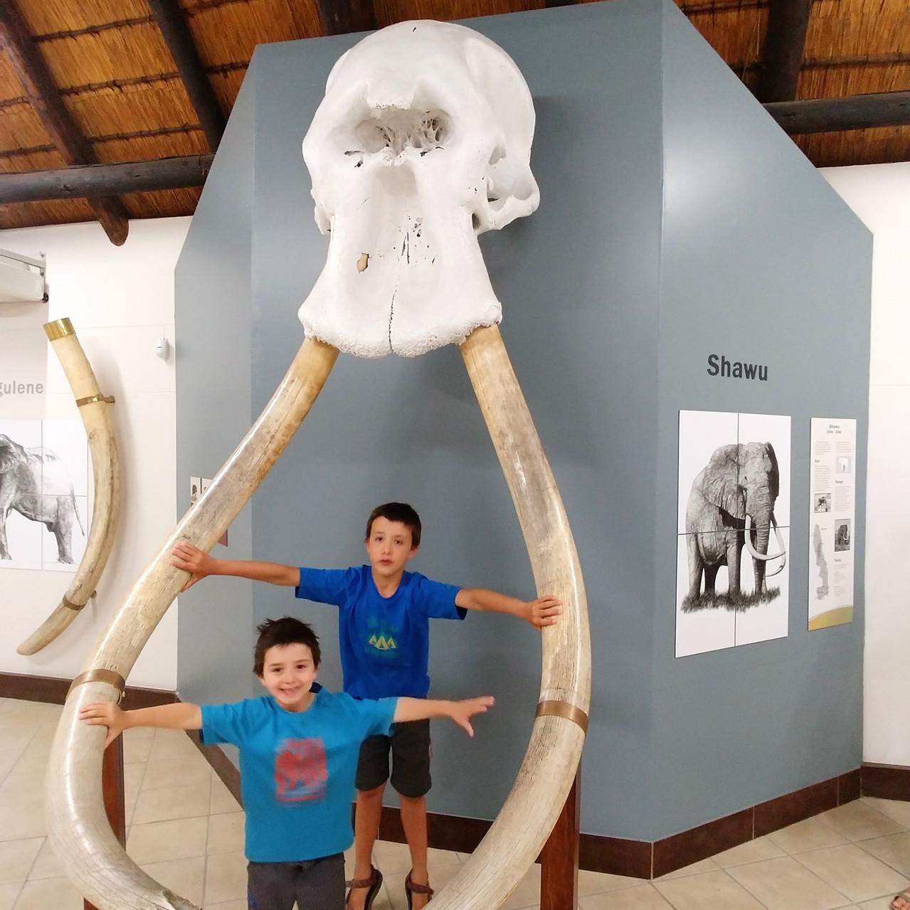 crâne et désenses  d'un mastodonte
