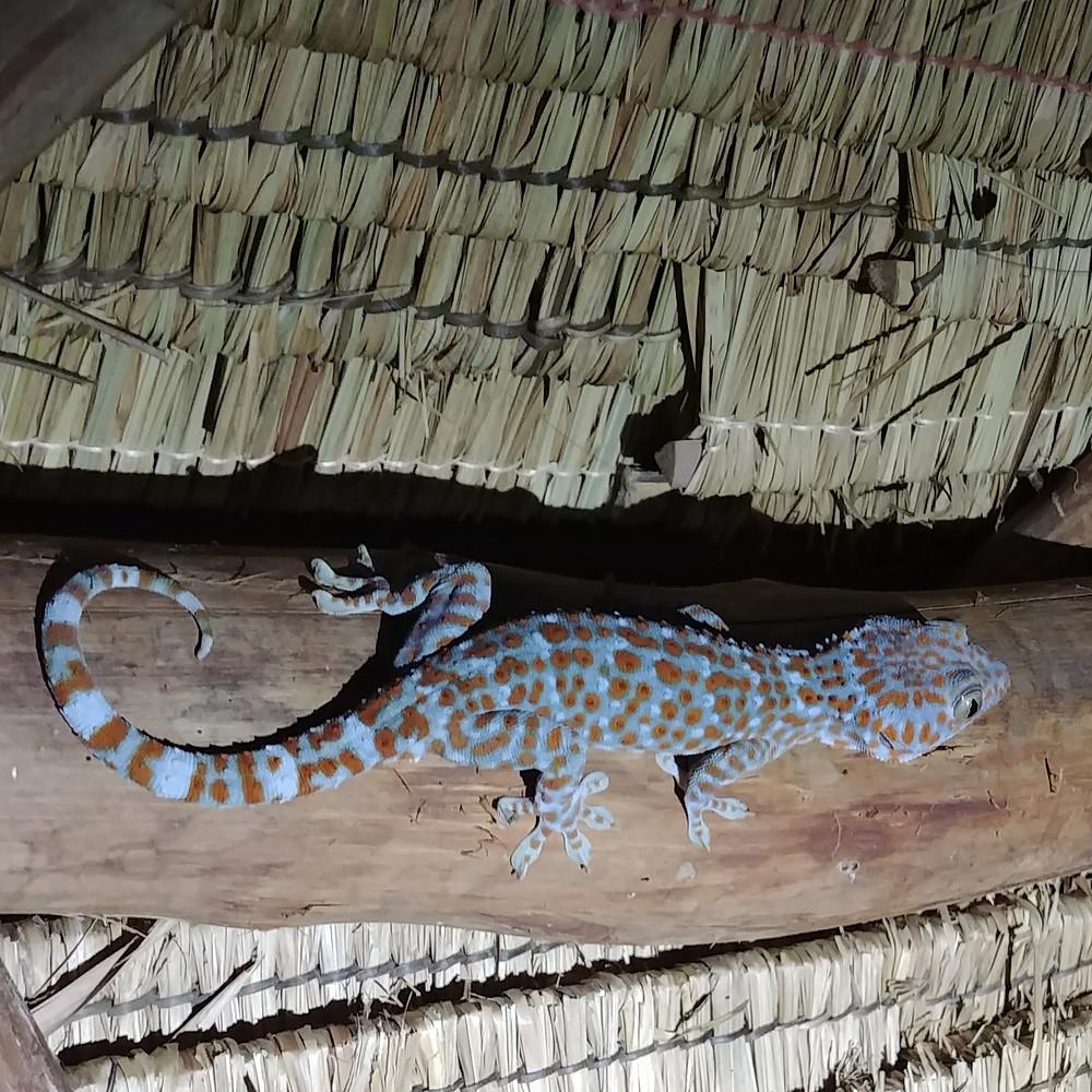 Nos amis les geckos