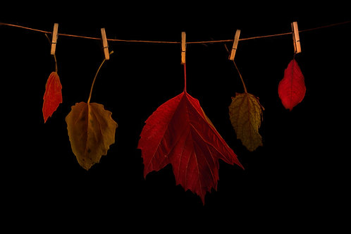 5 Autumn coloured leaves hanging from clothespins on black background