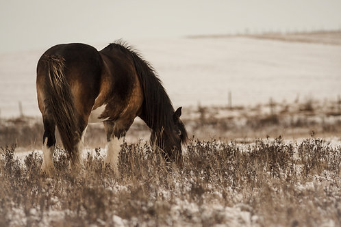 Clydesdale grazing in snowy field - done in sepia tones
