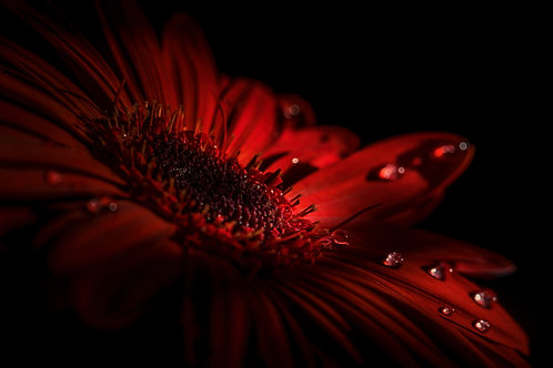 Close-up of a red Gerbera daisy with water droplets and black background.