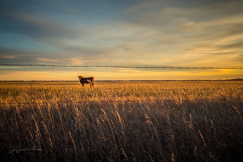 Lone slow in a field framed between barbed wires on fence in the sunset.
