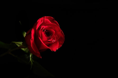Red Rose with 2 water droplets on a black background