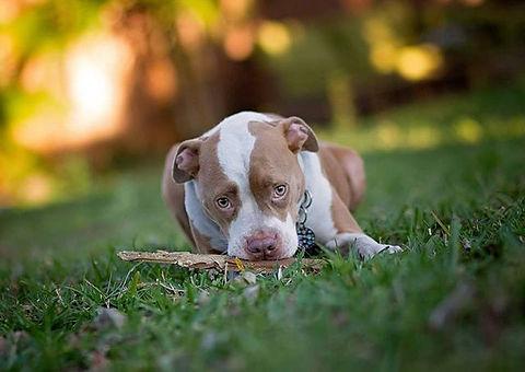 #sillygeorge#noteatingthefence#pitbullsofinstagram #pibble #dogsofinstagram #petphotography #orlando