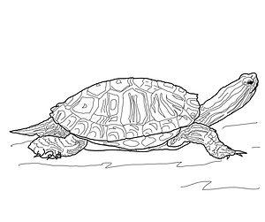 Yellow Slider Turtle
