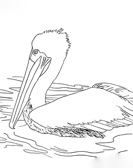 Brown Pelican Coloring Page